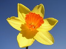 Narcissus (plant) - Wikipedia, the free encyclopedia Daffodil