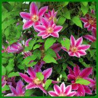 Clematis, eine kräftige Kletterpflanze in allen Farben.  Aufgrund der Vielfalt an angebotenen Farben findet sich eine Clematis für jeden Geschmack und für jede Stelle in Ihrem Garten  http://www.gartenschlumpf.de/clematis/