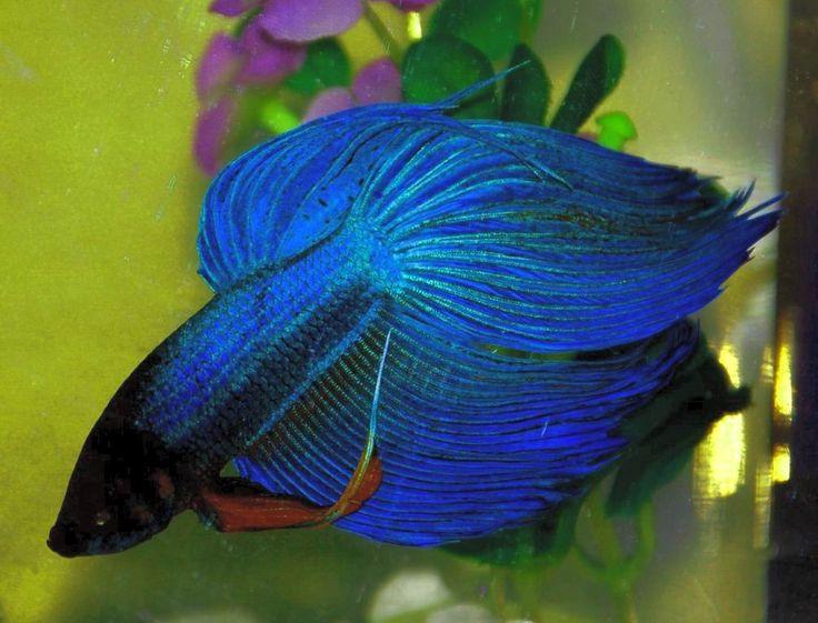 Uno de los peces de agua dulce más mantenidos en acuarios, peceras de bola e incluso vasos de agua es el popular Betta. Aunque los ejemplare...