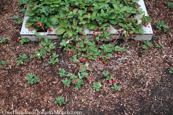Lucy the Puggle Dog and I have been hard at work in the garden today pulling up strawberry runners and sprucing up the pallet gardens in the backyard. So far this year we've grown lettuce, beans, strawberries, chard, zucchini, celery and spinach in the...
