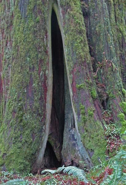 Tree Cave  Vancouver Island