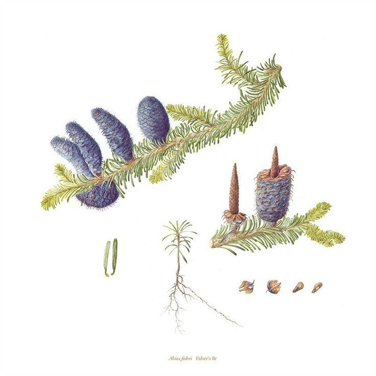 Bedgebury Pinetum Florilegium Society - Helen Noakes