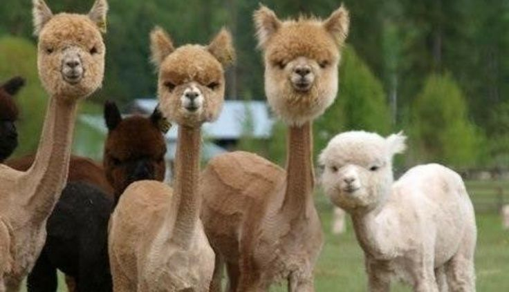 https://www.thedodo.com/here-are-12-shaved-alpacas-tha-585234725.html   You may not have realized it, but alpacas, like sheep, must be sheared once a year. And what a shearing it is. Here are 12 freshly-shaven alpacas that will change your perception of alpacas for the rest of your life.