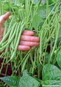 5 Best Container Vegetables for Beginning Gardeners. These are all great choices that my family would love, especially those beans. Yum!