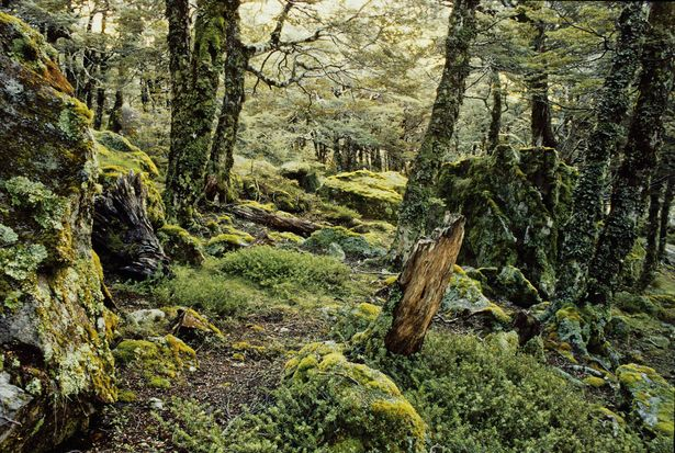 Silver Beech, Tawhai - subalpine beech forest.  Photos by Rob Lucas, published by Craig Potton Publishing