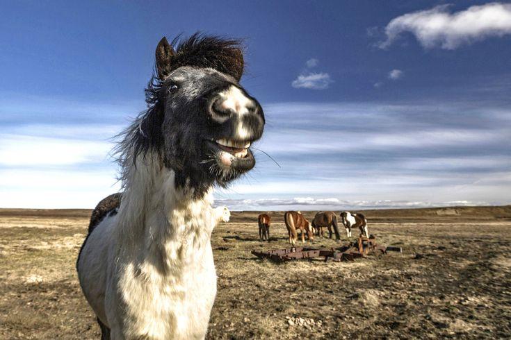 Дикие лошади Исландии « FotoRelax