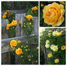 Semenatsvety Seeds100 Żółte Róże Wspinaczka Nasiona kwiatów ogród Jasne i Piękne, DIY Domu bonsai, dziedziniec Darmowa Wysyłka(China (Mainland))