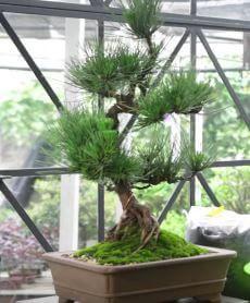Cuidados de un bonsái
