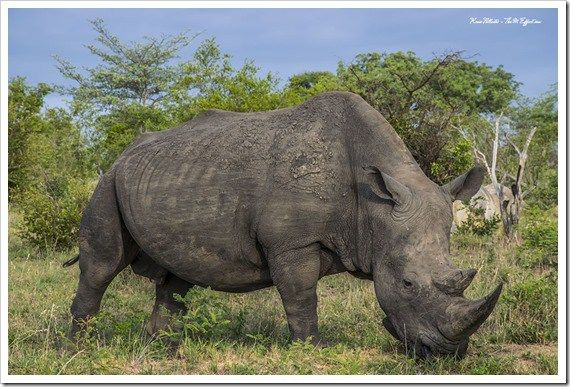 White Rhino, Kruger National Park  Kruger National Park is home to over sixty percent of entire population on white rhino in South Africa. Unfortunately they are being poached at an alarming rate.