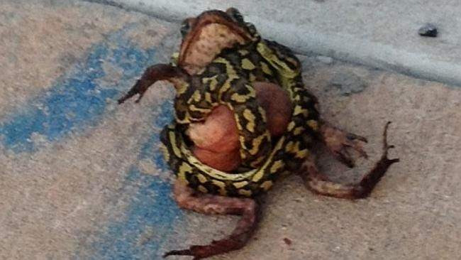 A python has been on a thrill-killing rampage - strangling feral cane toads just for kicks. #Australia