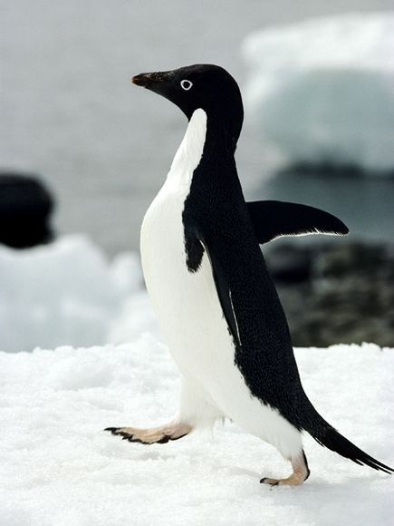 Adelie Penguin  Fast Facts~  Type:  Bird  Diet:  Carnivore  Average life span in the wild:  Up to 20 years  Size:  27.5 in (70 cm)  Weight:  8.5 to 12 lbs (4 to 5.5 kg)  Group name:  Colony  Did you know?  Adult Adélie penguins have been observed stealing rocks from their neighbors' nests.