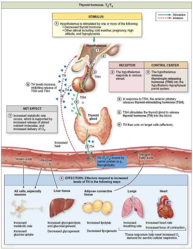 Regulation And Action Of Thyroid Hormone The Hypothalamus