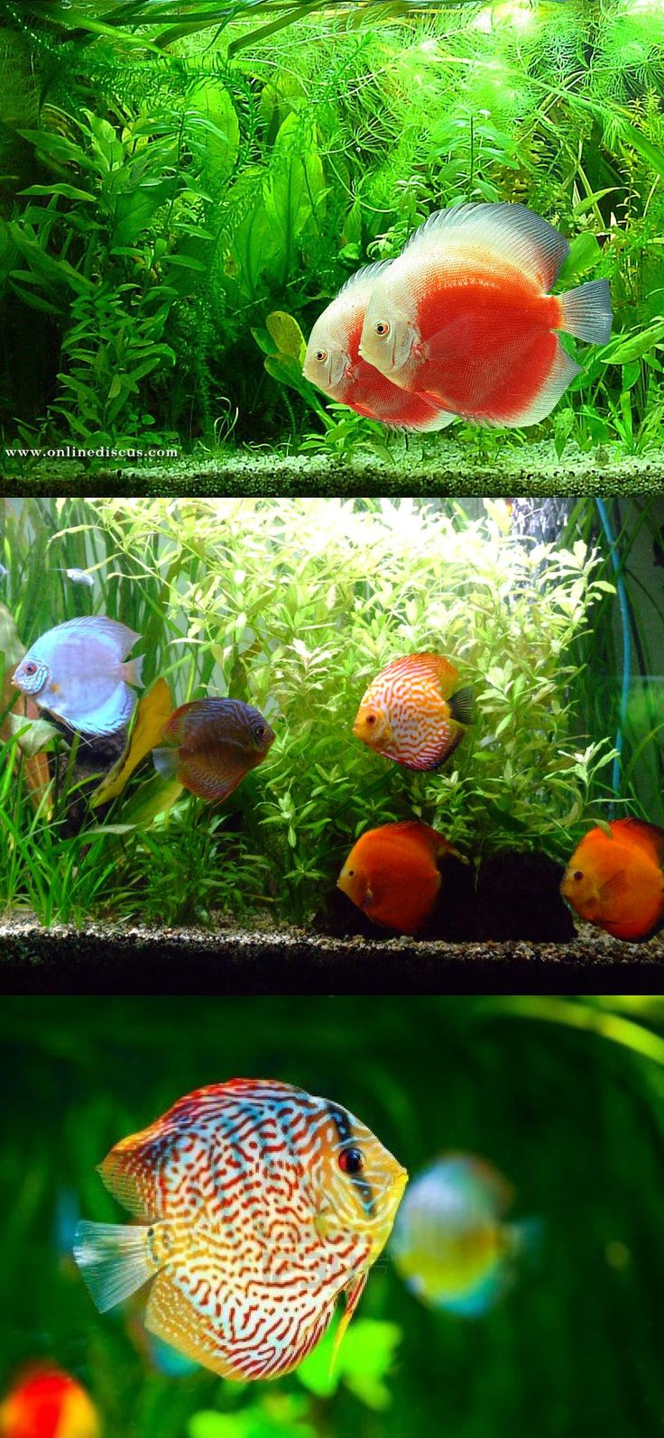 Fish aquarium online delhi - Discus Fish
