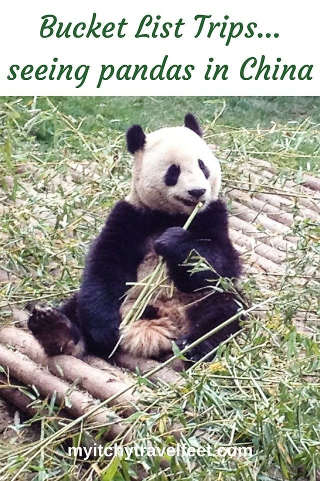 Bucket list trips - seeing pandas in China. A panda sits on the ground eating bamboo shoots in Chengdu, China. Read more about our visit and how you can do it too! #boomertravel #bucketlist #china #traveltips
