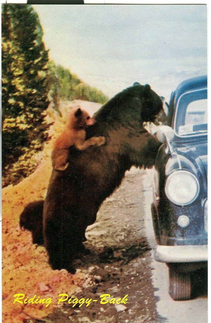 Vintage+Riding+PiggyBack+Bears+Canadian+Rockies