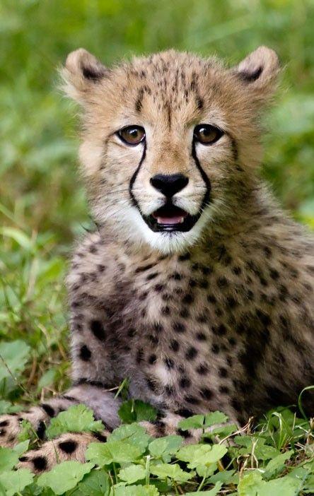 Cheetah cub    by Becker1999