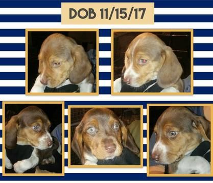 Beagle puppy for sale in UNION GROVE, AL. ADN-59385 on PuppyFinder.com Gender: Male. Age: 48 Years  Old