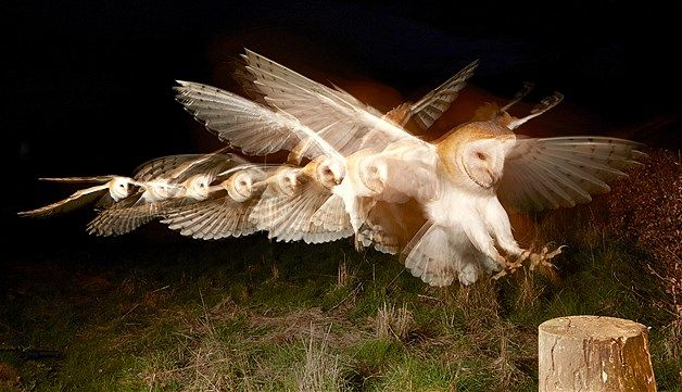 Image: Stroboscopic-effect flash photography of barn owl in Andover, England, on April 13 (© Les Wilson/Rex Features)