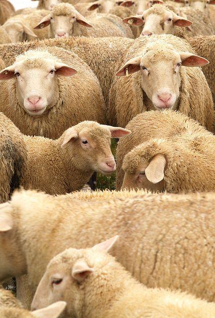 sheep follow one shepherdgod likens righteous people to