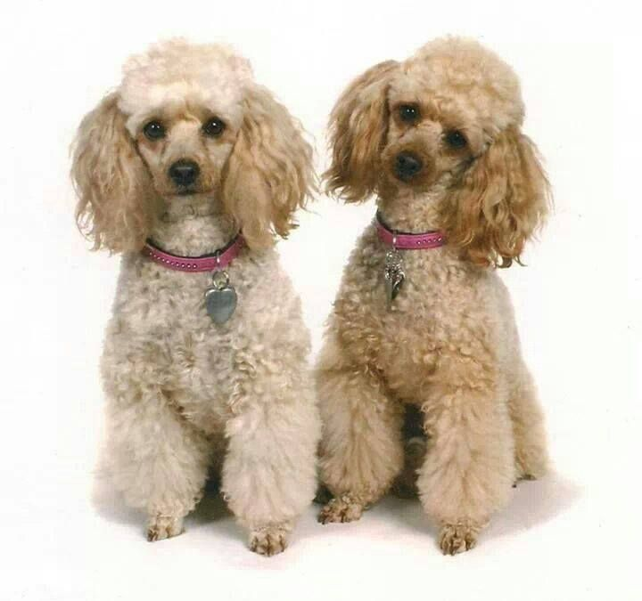 Poodle power or Poodle trouble??? Doubled