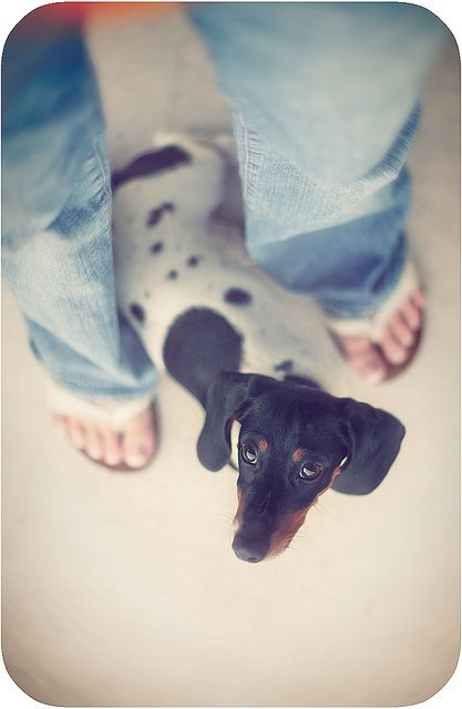 Miniature piebald dachshund; pretty much where you will find all dachshunds - under foot