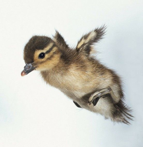 """Duckling:  """"My name is: 'Quackers' and my brothers tell me I'm a little bit crackers!""""  <3"""