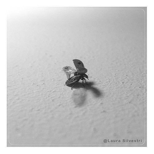Starting to fly | Una cocinella che sta per spiccare il volo. ©Laura Silvestri