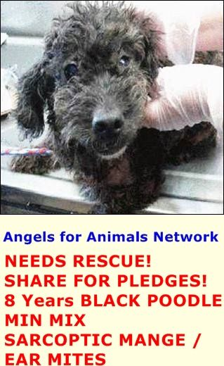 NEEDS RESCUE! SHARE FOR PLEDGES!  A1389372 F 8 Years BLACK POODLE MIN MIX 5/19/2015  SARCOPTIC MANGE / EAR MITES VIDEO: https://www.youtube.com/watch?v=EkwL_WHdSyg&feature=youtu.be  OC Animal Care. 561 The City Drive South, Orange, CA. 92868 Telephone: 714.935.6848 https://www.facebook.com/AngelsForAnimals.AFA/photos/pb.315830505222.-2207520000.1432323915./10155549646625223/?type=3&theater