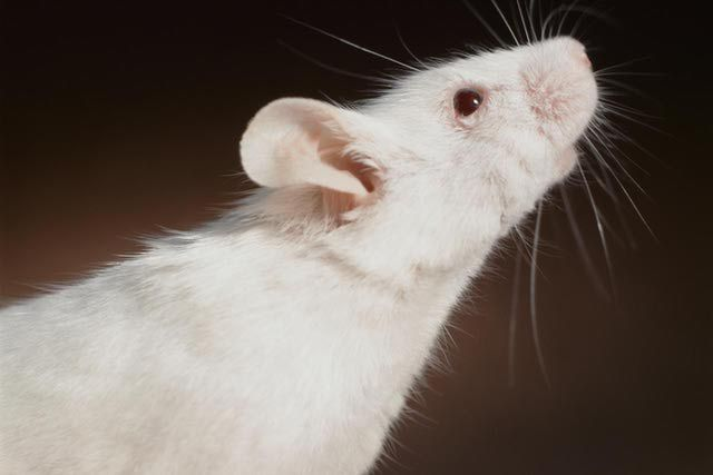 Homemade Toys for Pet Rats