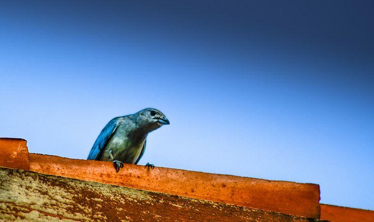 Sanhaço Azul by Arsenio Coelho on 500px