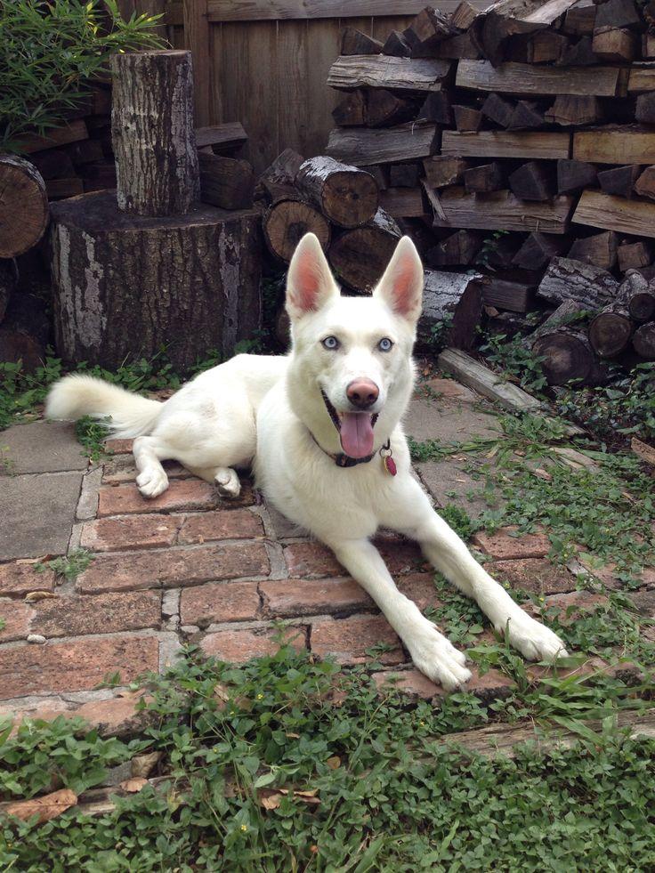 11 Best Images About Husky Shepherd Mix On Pinterest