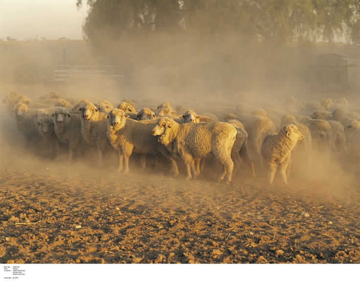 Sheep on Yarilla Farm on the Yorke Peninsula.    Image Source: SA Tourism Commission.