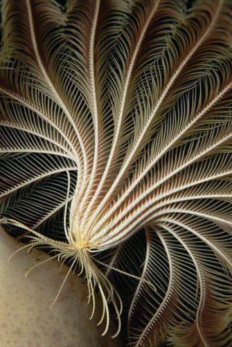 Crinoid (Promachocrinus kerguelensis) sea feather