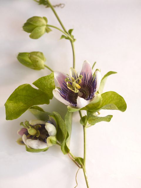 Passionflower -- Helps to balance hormones (men & women), and manage seizures, shingles, and Parkinson's. But it's most effective for easing anxiety. Studies show that after 1 month's use, passionflower is as effective as benzos (Valium, etc.) in managing anxiety -- without the side effects and addiction. Best taken as a tincture (alcohol base) under the tongue; available at health shops. | Photo: Christopher Baker