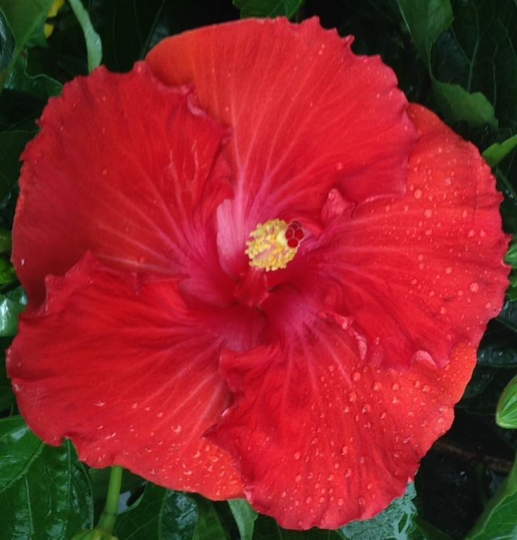 Vermillion Queen hibiscus - Big Bad Flower