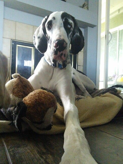 Norman my great dane