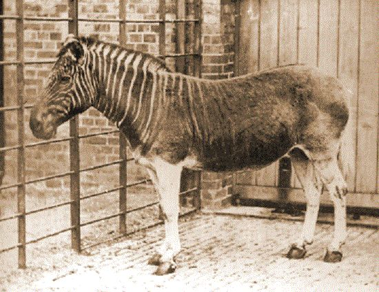 The Quagga became extinct in1880. A yellowish-brown subspecies of the plains zebra with stripes only on its head, the quagga was a close relative of horses and zebras. It lived on grassy plains and in the drier parts of South Africa. It is very sad to know that the true quagga was hunted down for meat and vanished almost unnoticed, before any conservation efforts were made.