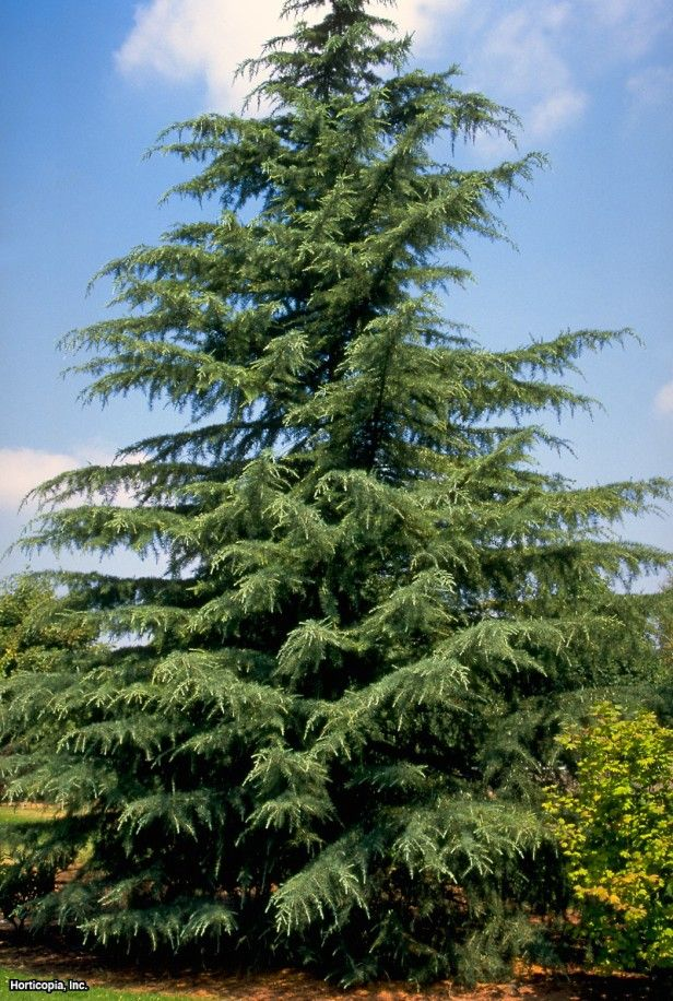 Planted by gardeners for its ornamental value, Cedrus Deodara has majestic drooping evergreen foliage.