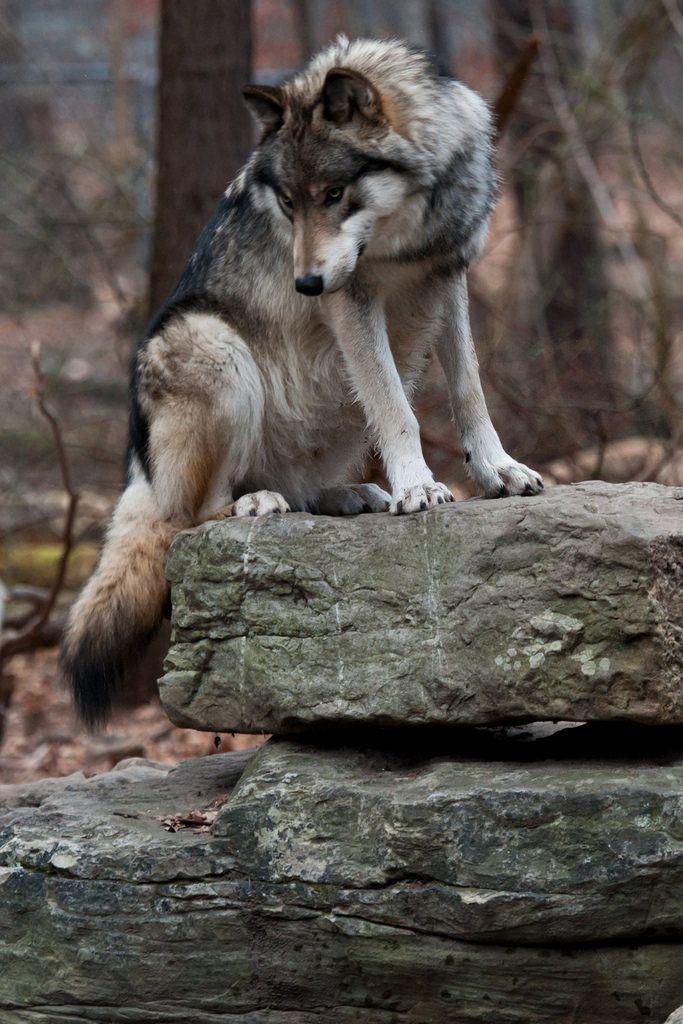 Lobo!                                                                                                                                                                                 Más