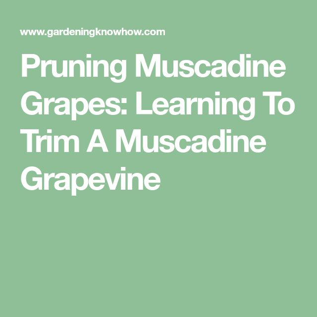 Pruning Muscadine Grapes: Learning To Trim A Muscadine Grapevine