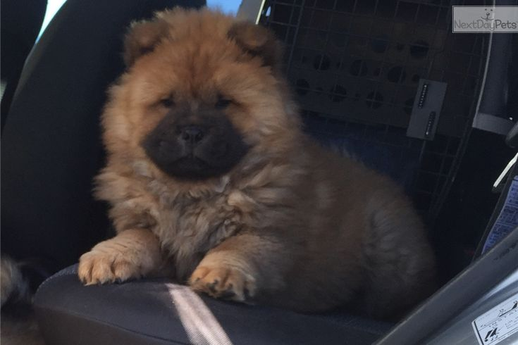 Chow Chow puppy for sale near Amarillo, Texas | afd438ac-fd61   – chow chow puppy