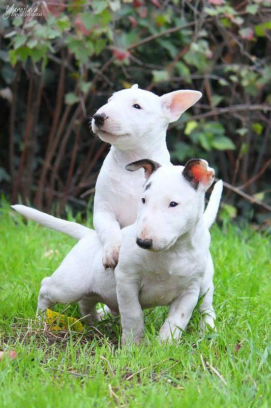 El Bull terrier o bull terrier inglés es una raza canina de la familia de los terrier. Son conocidos por la forma única de su cabeza y sus pequeños ojos en forma triangular.