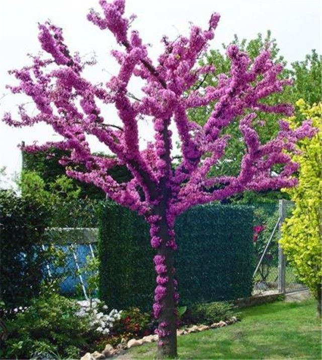 Small Ornamental Trees Oregon: 22 Best Images About Cercis On Pinterest