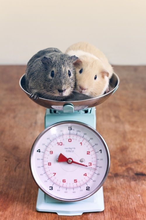 1000 images about guinea pigs on pinterest guinea pigs for Discount guinea pig supplies