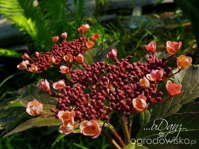 Kalina Sargenta Onondaga - najciekawsza i rzadko spotykana odmiana. Liście jak u koralowej i kwiaty też tylko są na początku łososiowe, a później środek czerwony. Cudna. Dorasta do 3 metrów i lubi wilgotno   ...uDany ogród - strona 7 - Forum ogrodnicze - Ogrodowisko