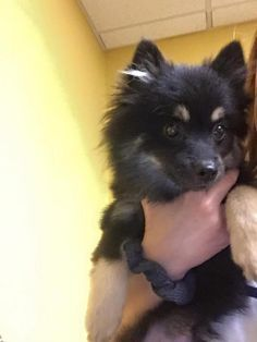 ●11•26•16 SL●Reese's is a female Pomeranian puppy not housebroken yet available at All 4 one Rescue, Edmond,OK.