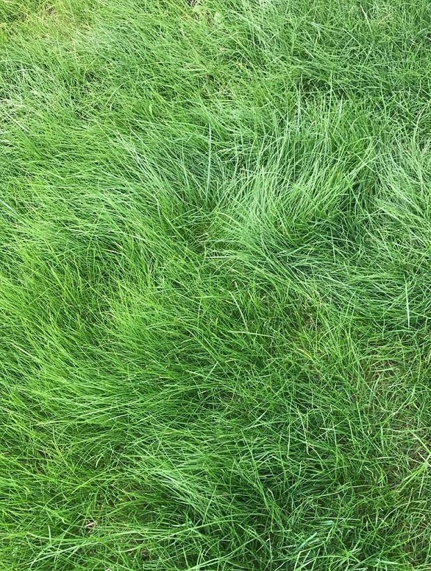 Pt 701 Let It Grow Grasses A No Mow Alternative Lawn Alternatives Drought Tolerant Fescue Grass Lawn Grass Alternative