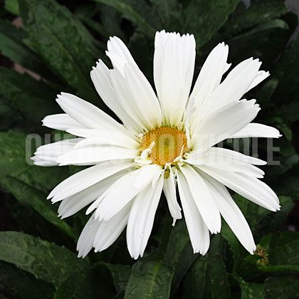 image de Leucanthemum x superbum Whoops-A-Daisy