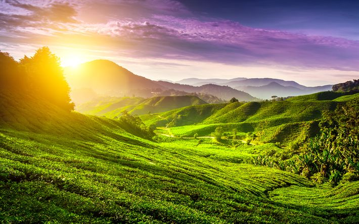 Download wallpapers 4k, Cameron Highlands, sunset, summer, tea plantations, hills, Malaysia, Asia