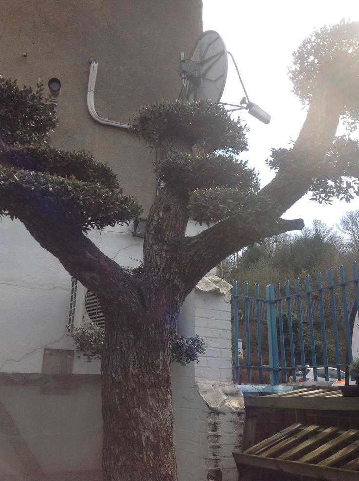 Best 25 pruning olive trees ideas on pinterest olive for Olive trees for sale